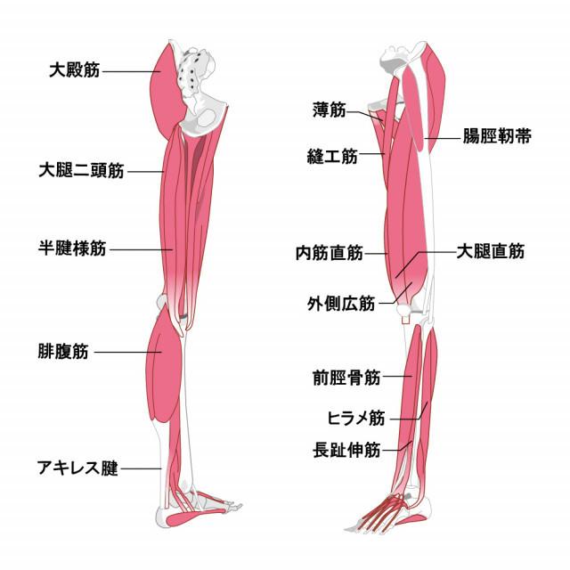 足の筋肉の画像